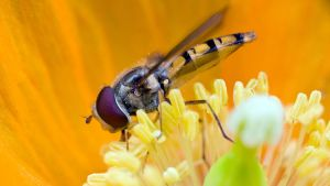 Hoverfly II by sixtyfour