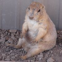 Really Cute Prairie Dog 3 by FantasyStock