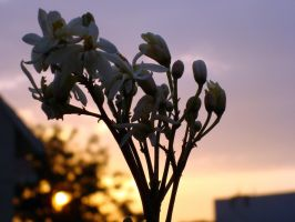 sunset drum-stick flowers by ss03101991