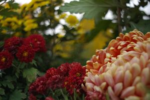 chrysanthemums 2 by majesticnocturne