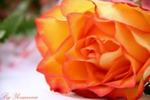 bright orange rose by yesmeena