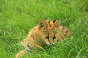 Baby serval is playing by MorganeS-Photographe