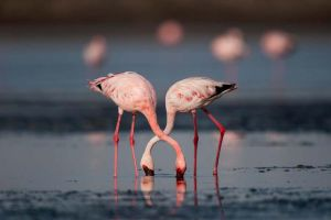 Flamingo Love by k-v-bhat