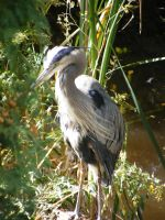 Great Blue Heron by Milloune