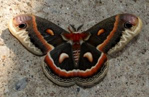 Cecropia Moth From Above by yarrpiracy
