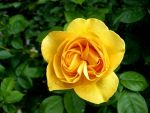 Sweet Yellow Rose by zip-a-dee-doo-da