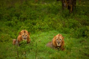 African Lion 67 by catman-suha