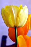 TuliPes by Fre-D
