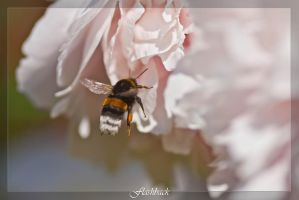 Bumblebee, Hummel by Flashback981