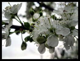 White Blossoms by SalmasPhotos