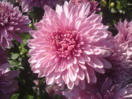 Chrysanthemum 2 by StoneMary
