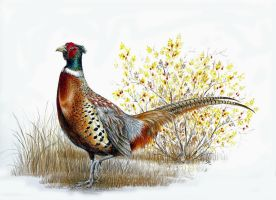 Ring-necked Pheasant by WanderingAlbatross