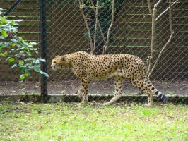 Stock 425: cheetah walking by AlzirrSwanheartStock