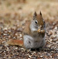 Red Squirrel by tidesend