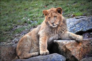 Photogenic Lion by brijome