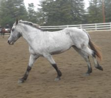 galloping grey horse by rachellafranchistock