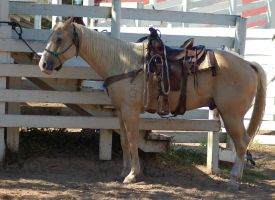 Palomino Western Tack 2 by SalsolaStock