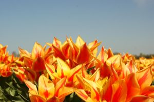 Bounce of Tulips by picture-melanie