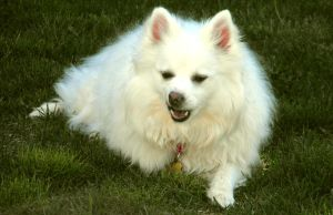 American Eskimo II by Photos-By-Michelle