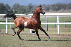 Pinto Arabian Stallion On lead/leg kick by xxMysteryStockxx