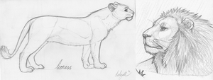 Lion Sketches by Hymnsie