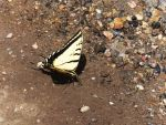 Tiger Swallowtail by XxSilverOwl13xX