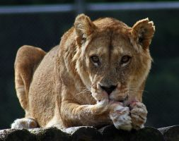 Dinnertime for the Lioness by carterr