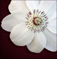 WHITE CLEMATIS 10 by THOM-B-FOTO