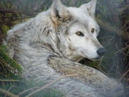 Wolf Portrait Stock 30 by Clickitysnip-Stock