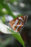 Leopard Lacewing by MutantLilies