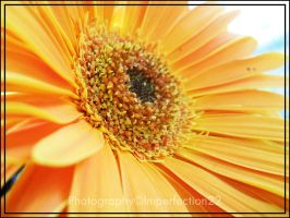 Gerbera I. by Imperfection22