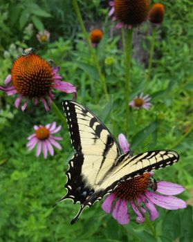 Swallowtail and Coneflowers by ArjaySKing
