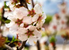Almond Blossoms by zootnik
