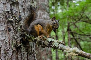 Squirrel Near Longmire by AFL