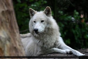 Hudson Bay Wolf 207 by Canisography