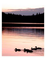 Ducks Prowl At Sunset. by Arcanacaries