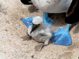 BLUE FOOTED BOOBY AND CHICK by SASSY-SHE-DEVIL