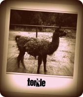Torkle the Llama by SweetSurrender13