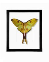 Real Female Comet Moth Taxidermy Display by TheButterflyBabe