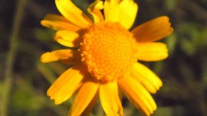 Yellow Flower by TheGerm84