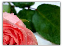 Portrait of a Rose by afox2004