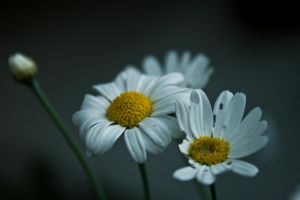 daisies by JuliaGeisler