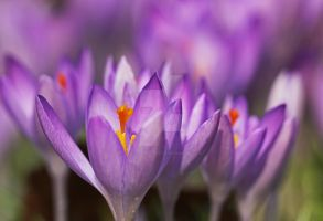 Yes...! The crocusses are there... by clochartist-photo