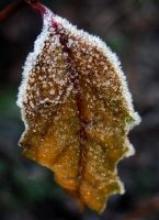 Cold Oak by iriscup