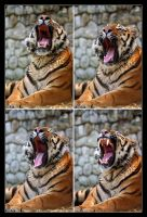Yawning tiger - series by ivekvatrozic