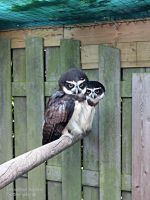 2 spectacled Owls by GwendolynWolters