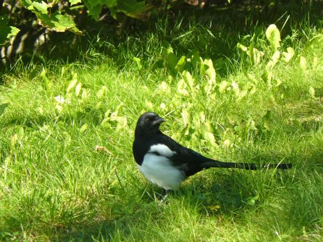 Magpie by LittleMissUnholy