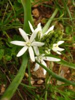 Ornithogalum by Pimpernel