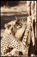 Cheetah Duotone by entropicuniverse