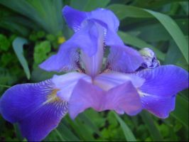 Purple Iris by leatherzebra